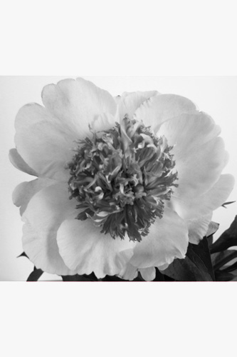 Lined Peony Inspiration Photo